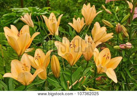 Bright Yellow Bush Of Fragile Lily Flowers
