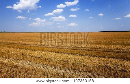 agriculture . cereals. summer