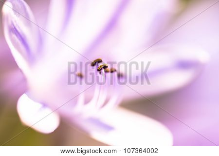 Lilac Lily With Pistil In Focus