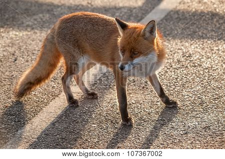 Fox with head turned