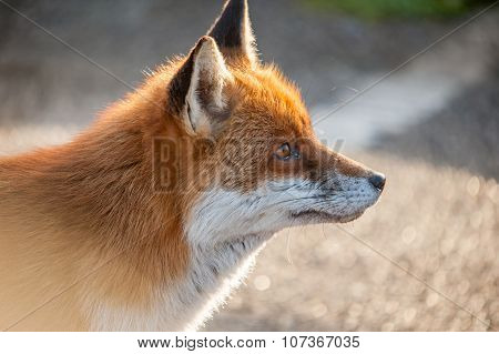 Fox head profile