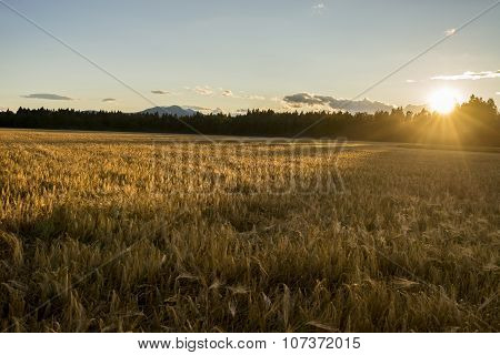 Beautiful Golden Ripening Wheat Field Gently Flowing In The Wind Lit By A Setting Evening Sun