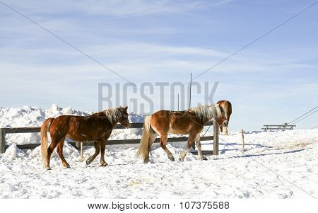 Magnificent Ponies On The Snow. Dolomites. Val Di Fiemme, Italy
