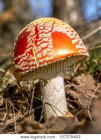 Fly agaric mushroom growing in the forest