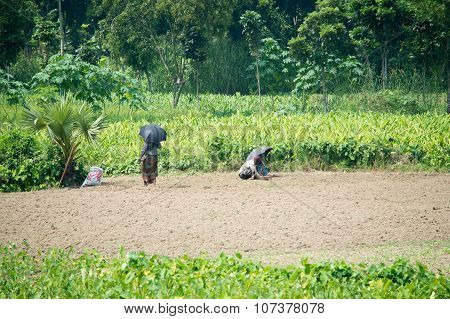 Farmers Are Harvesting Paddy