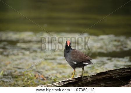 moorhen looking at camera