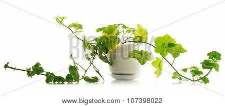 House Plant Pelargonium And Pot Isolated On White