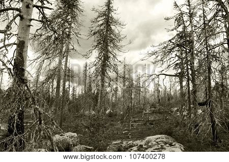 Dead forest, North of Russia