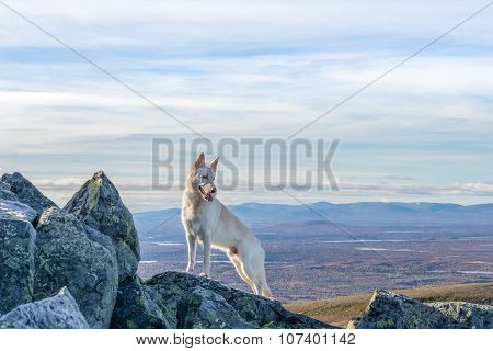 White German Shepherd Dog Standing On A Mountain