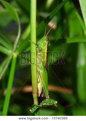 Green Grasshopper - Kuranda, Australia