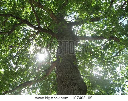 Tree crown foliage and sunlight