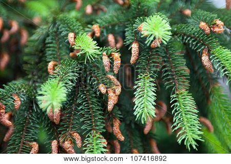 Conifer Branches With Cones And Young Light Green Shoots