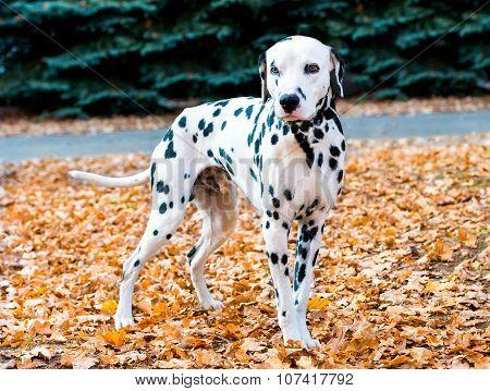 Dalmatian in autumn.