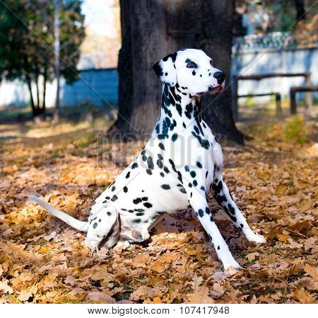 Dalmatian is proud.