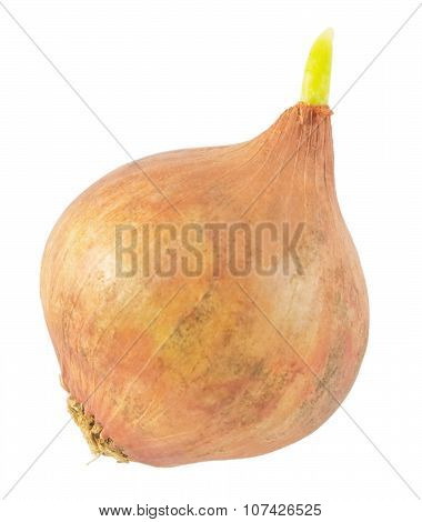 Onion With Green Sprout On A White Background