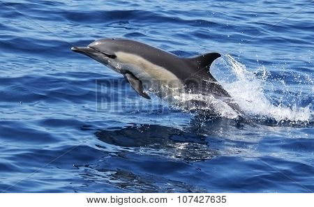 Pacific Short Beaked Common Dolphin