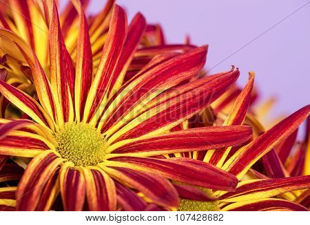 Red Yellow Mum Or Chrysanthemum Flowers Closeup