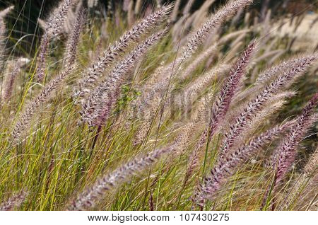 Wild Grasses in Purple