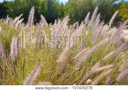 Field of Wild Grasses: Western Australia