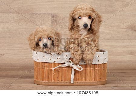 Dwarf Poodle Puppies In Basket