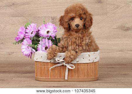 Dwarf Poodle Puppy In Basket