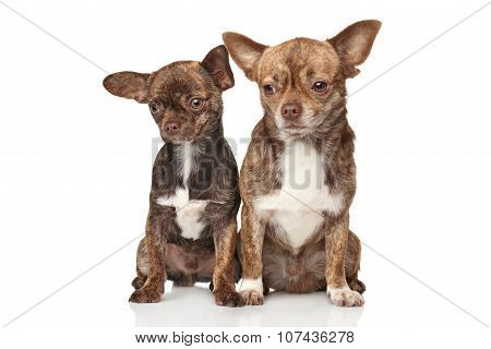 Chihuahua Puppies On White Background
