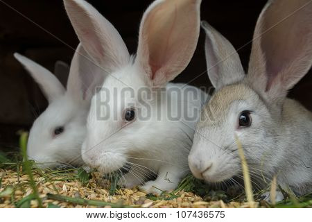 Group Of Meat Domestic Rabbits Eating Cereal Grain In Farm Hutch