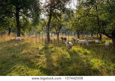 Picturesque Scene With Sheep Under Tall Trees