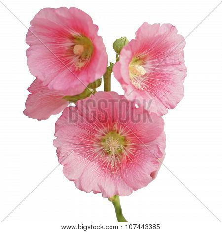 Hollyhock Flower Isolated On White
