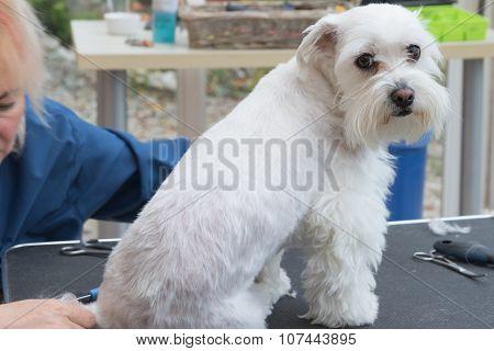 Maltese Id Groomed In A Dog Salon