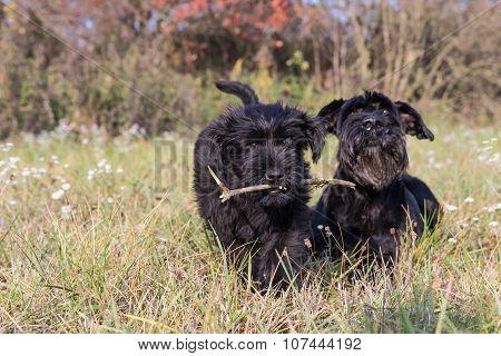 The Giant Black Schnauzer Dogs
