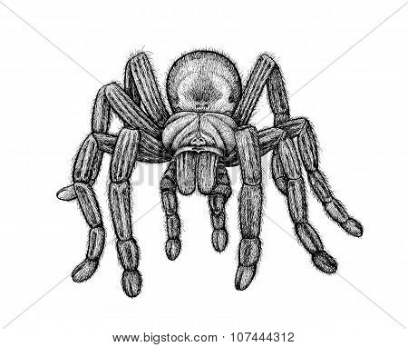 Black Tarantula Isolated On White Background