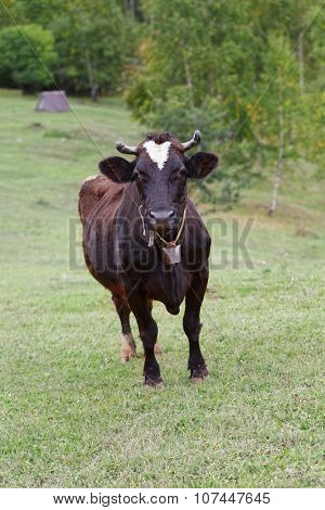Cow with bell on pasture
