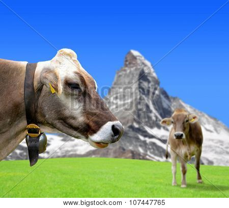 Cow in the meadow. In the background of the Matterhorn - Pennine Alps, Switzerland