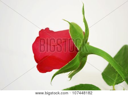 red bud rose
