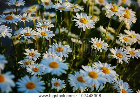 Lovely blossom daisy flowers background.