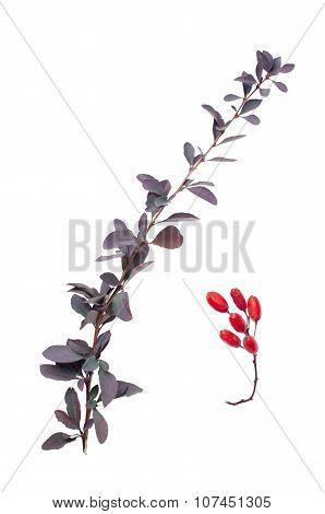 Berberis Fruit