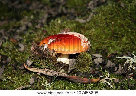 Agaric Mushroom Sprouting