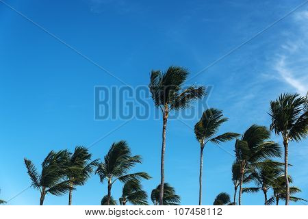 Palm's tops with the sky behind on windy day