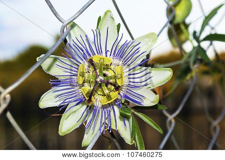 clock flower between the wires
