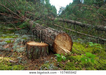 Felled A Pine Tree In The Forest