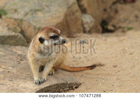 Small Meercat Resting