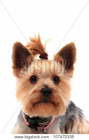 Yorkie Terrier Isolated