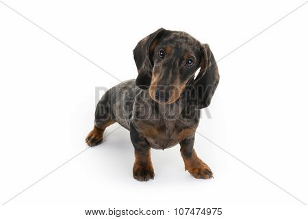 Beautiful Dog Looking At The Camera, Miniature Dachshund