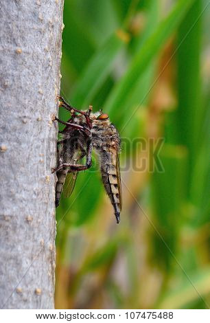 Robber fly trapping other robber fly