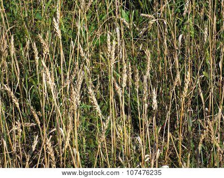 Green Grass And Wheaten  Ears