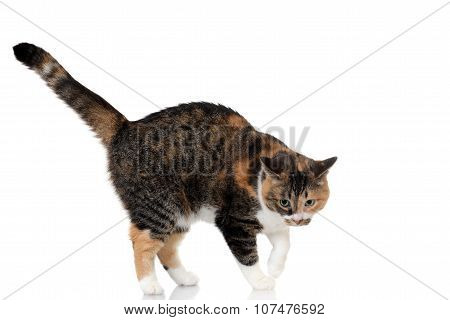 calico and tabby cat mix