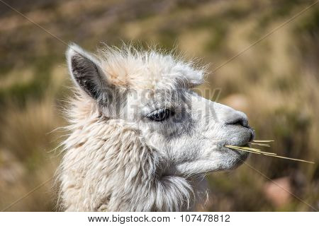 Young alpaca chewing on a straw in the highlands of Peru