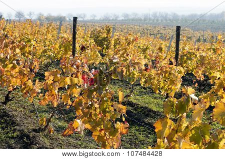 Fall, Bright Yellow Vineyards On Slopes