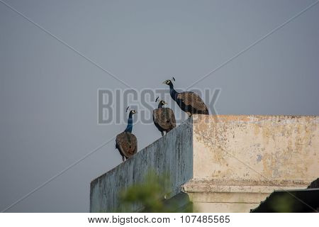 Three peacocks sitting on the roof
